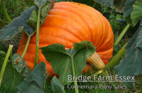 Bridge Farms Enormous Halloween Pumpkin