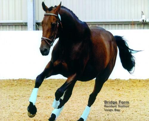 Dark Bay Thoroughbred Stallion Voigts bay 16 2hh dark bayDark Bay Thoroughbred Stallion