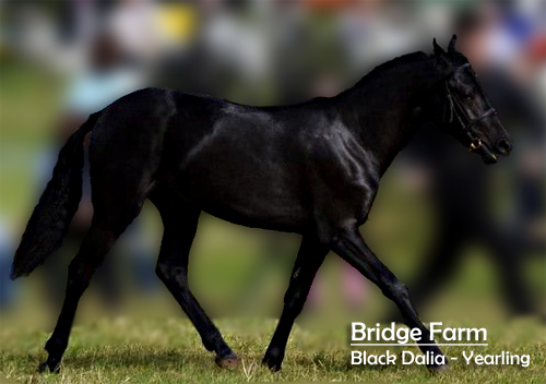 Bridge Farms Black Dalia Trotting Up