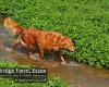 Happy healthy Fox Red Retriever playing in the river at Bridge Farm