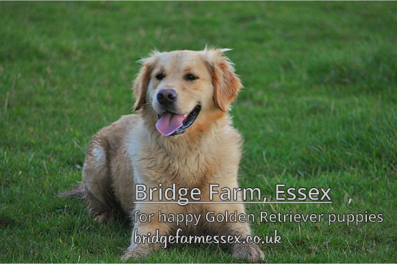 Bridge Farm - Healthy Happy Golden Retriever Pups