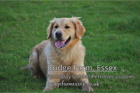 Bridge Farm - Healthy Happy Golden Retriever Pups