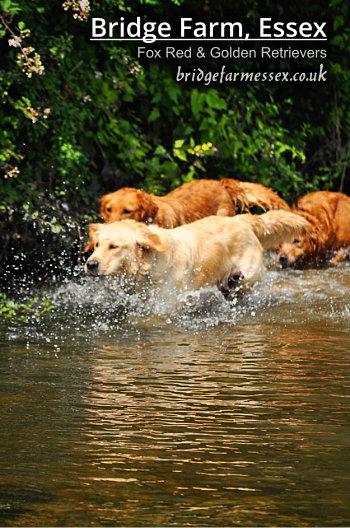 Bridge Farm - Golden Retrievers Playing in the River