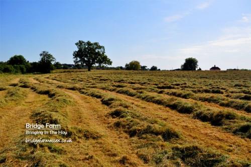 The Bridge Farm hay crop
