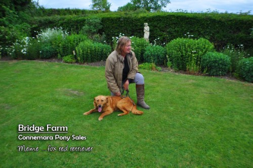 Bridge Farms Meme - a stunning Fox Red Retriever pup