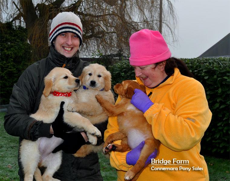 New Fox Red Puppies at Bridge Farm