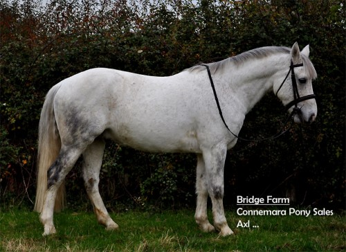 Bridge Farms Axl a Fleabitten Grey Connemara Gelding