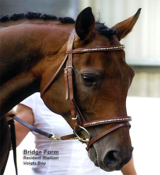 Bridge Farm Resident Stallion - Voigts Bay Wetherbys NT Registered Stallion