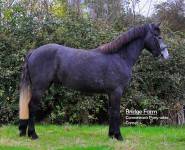 Connemara Gelding Ballydoolagh Comet - Full Body View