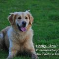 Our adorable Golden Retriever Pups are Growing