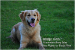 Bridge Farms Golden Retrievers ar ideal for families