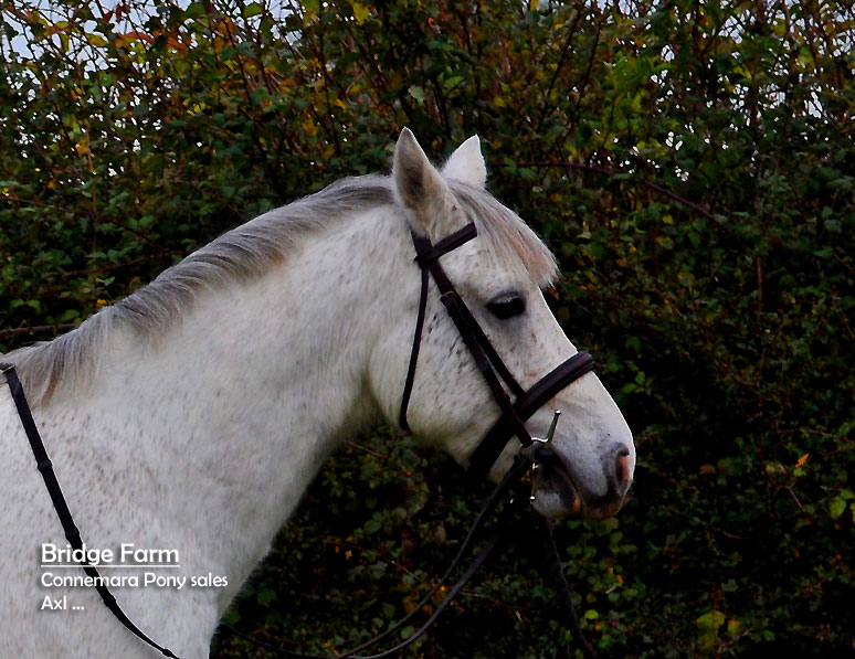 Grey Connemara Gelding Axl - Profile View