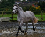 Connemara Gelding Ballydoolagh Fionn moveng freely