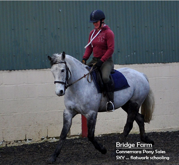 Bridge Farms Connemara Pony Sky flatwork training