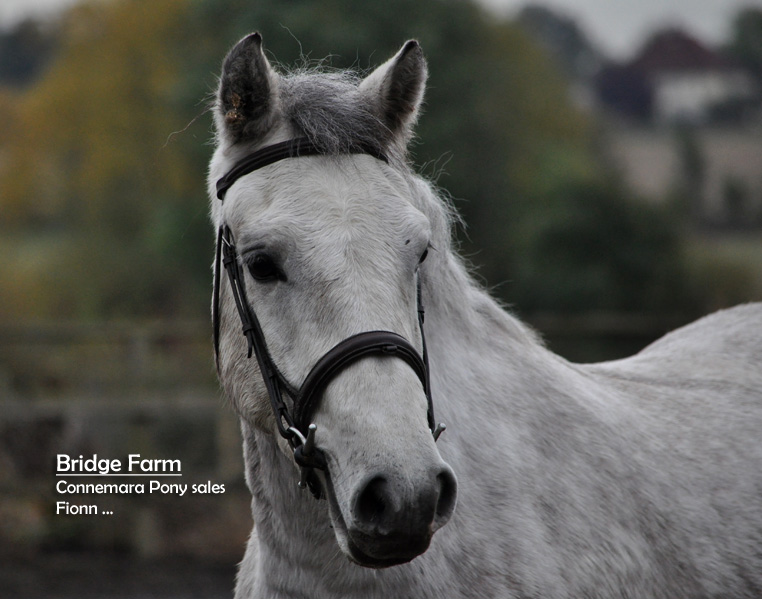 Bridge Farms Connemara Gelding - Ballydoolagh Fionn