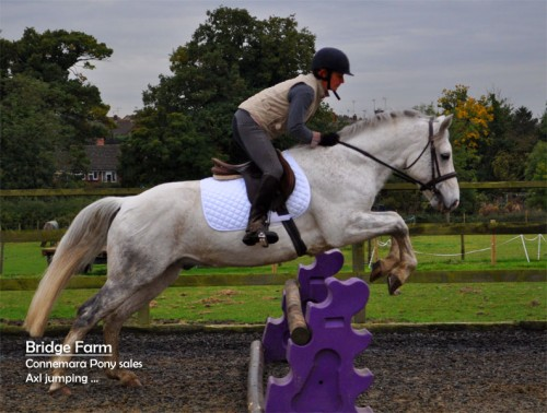Grey Connemara Gelding Axl - Jumping