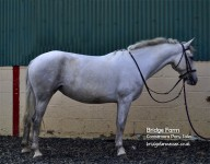 Bridge Farm - Irish Sports Pony Connie