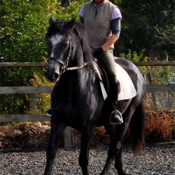 Bridge Farms Connemara Gelding Turbo - potential dressage pony