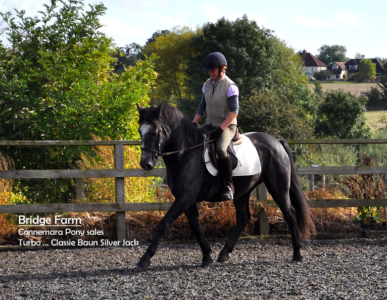 Connemara Gelding Turbo - flatwork and lateral movements
