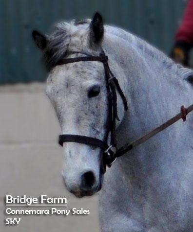 Bridge Farms Connemara Pony Sky - Profile Photo