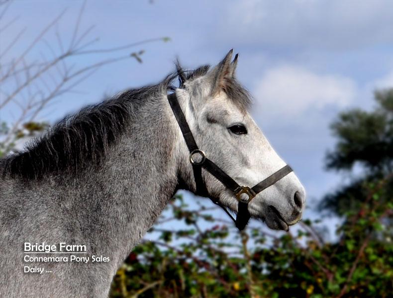 Connemara Filly Daisy - Profile View