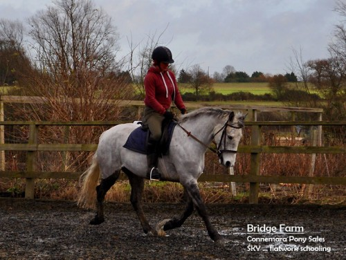 Sky a 4yr Old Grey Connemara Gelding with Presence