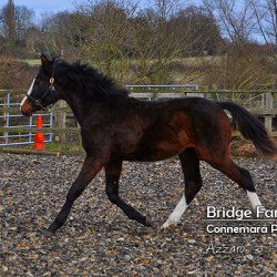 Bridge Farm - Warmblood Colt Azzaro