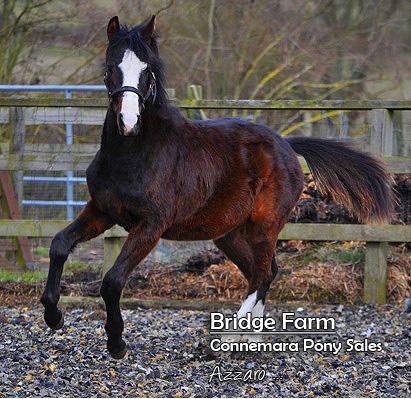 Bridge Farm - Warmblood Colt Azzaro