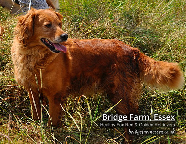 Bridge Farm - Fox Red Retriever Loxi