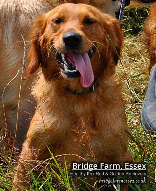 Bridge Farm Essex Golden Retriever Puppies Ponies