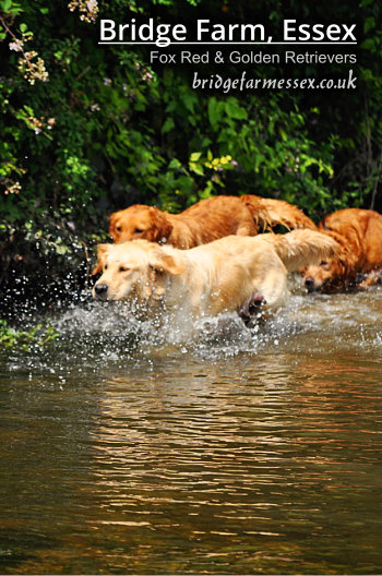 Bridge Farm - Golden Retrievers Playing in the River