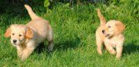 Bridge-Farm-Puppies-0466