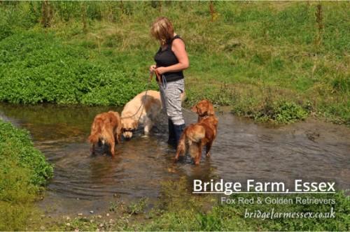 Bridge Farm - Fox Reds & Golden Retrievers in the River