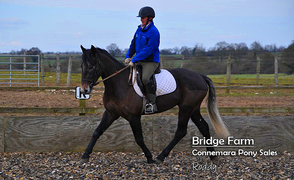 Bridge Farms Roddy - Connemara Gelding schooling