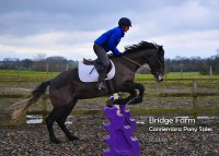 Bridge Farms Roddy - Connemara Gelding jumping