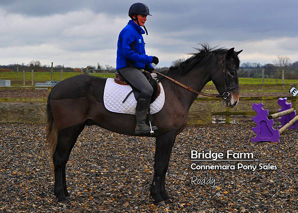 Bridge Farms Roddy - Connemara Gelding standing making a shape