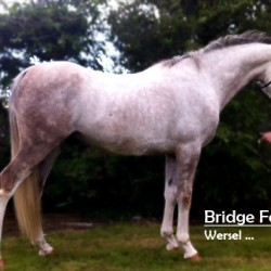 Bridge Farms Wersel - Grey Arab Cross Gelding