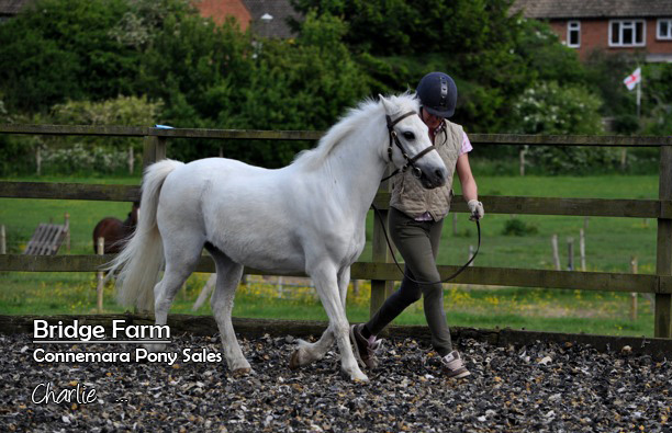 Bridge Farms Charlie - a lovely Welsh type lead rein pony