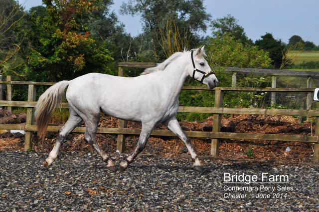Bridge Farms Connemara Chester - Ballymullan Prince