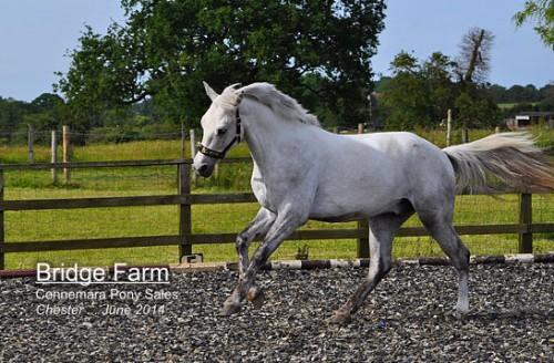 Bridge Farms Connemara Pony Chester