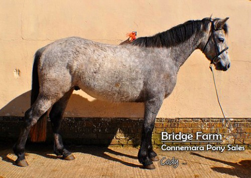 Bridge Farms Connemara Gelding Cody