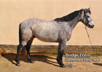 Bridge Farms Connemara Gelding - Cody