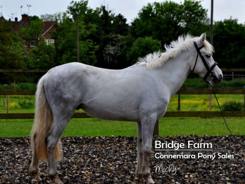 Bridge Farms Connemara Gelding Micky