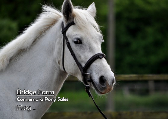 Connemara Gelding Micky's Profile Photo - Bridge Farm Essex