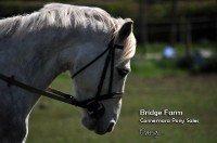 Bridge Farms Connemara Gelding Patsy - Pretty Head