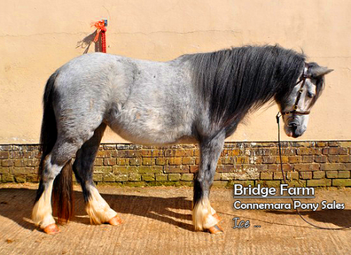 Fitchets Mount Ice a lovely Cob x Welsh Grey Filly