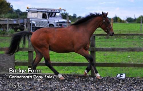 Bridge-Farms-Connemara-Patric