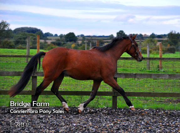 Bridge Farms Connemara Patric - Loose Schooling