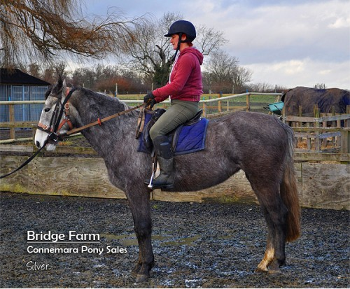 Bridge Farms Connemara Mare Silver (Moveen Sunshine) - Winter Coat