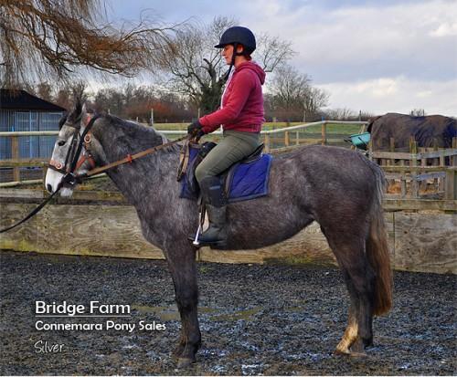 Bridge Farms Connemara Mare Silver (Moveen Sunshine) - Winter Coat